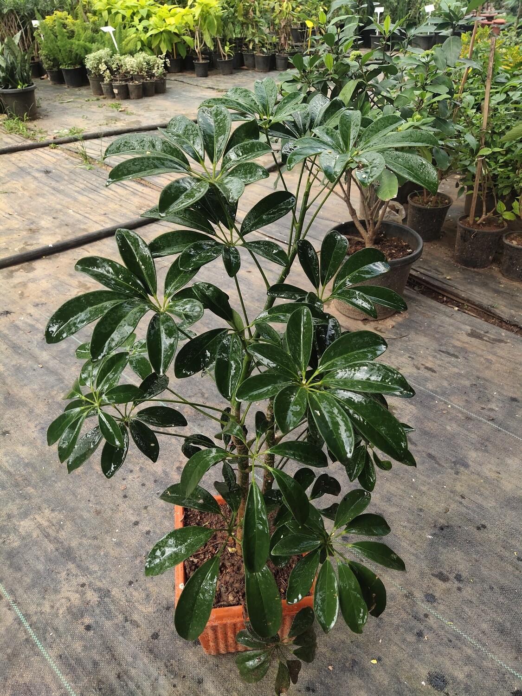 Schefflera (umbrella plant )