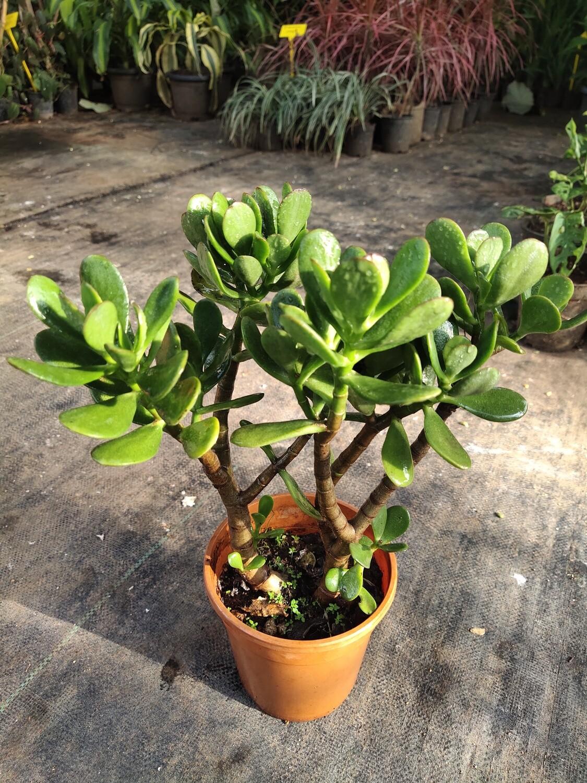 Bonsai jade