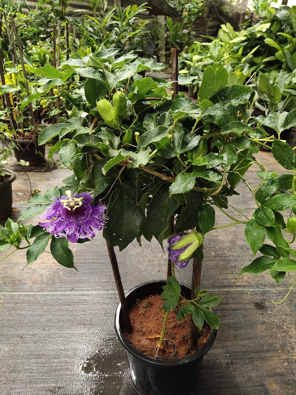 Krishna Kamal, Passion flower, Passiflora incarnata (Purple) - Plant