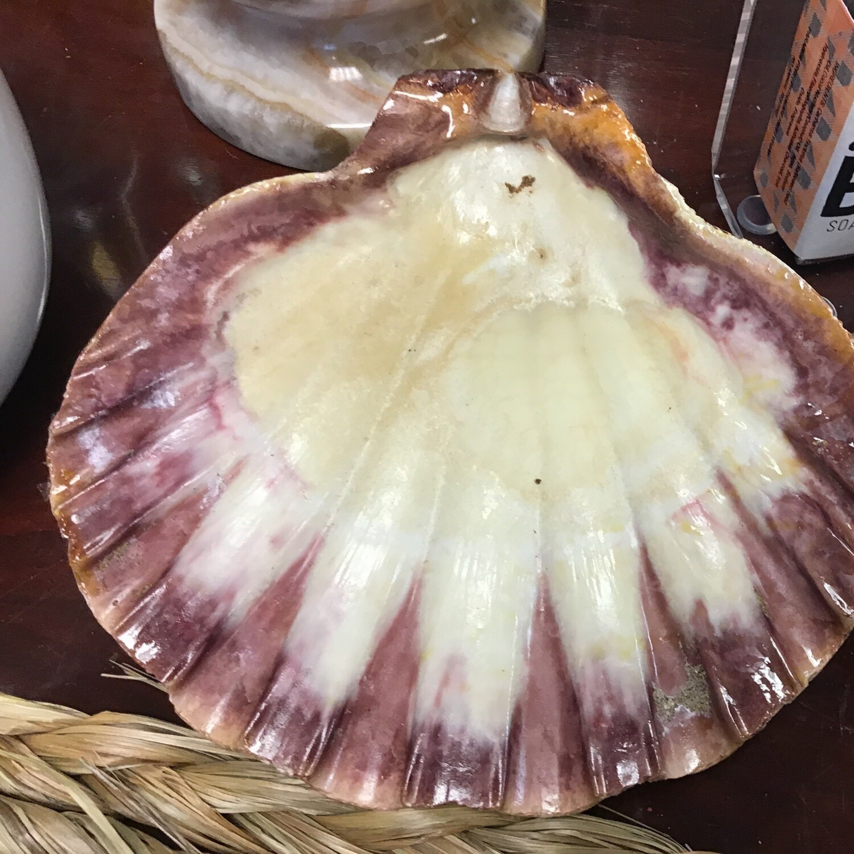 Lion Paw Shells