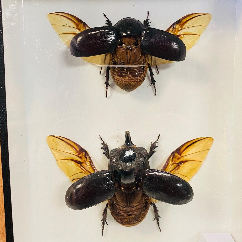 Taxidermy Dung Beetles