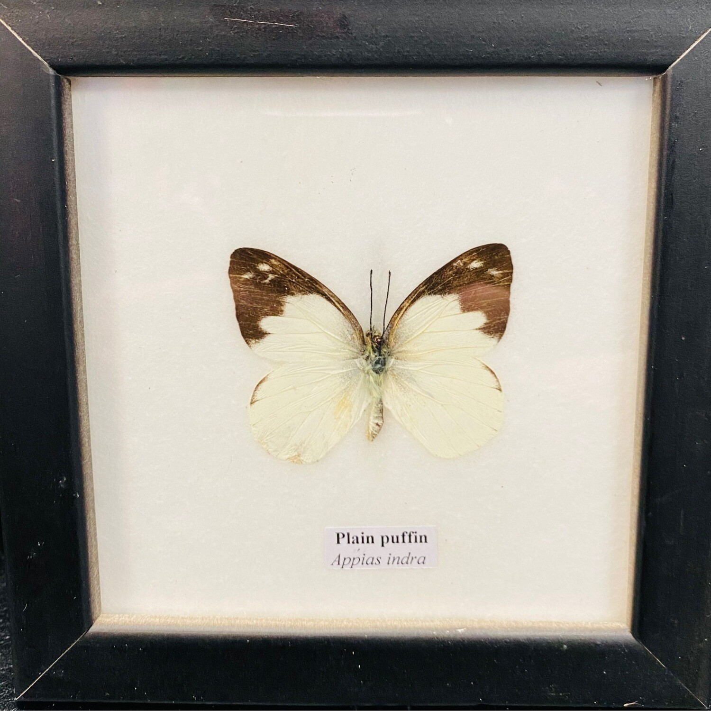 Taxidermy Butterfly Single