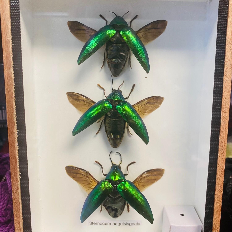 Taxidermy Jewel Beetle Set