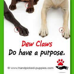 Dew Claws - Do Have a Purpose!