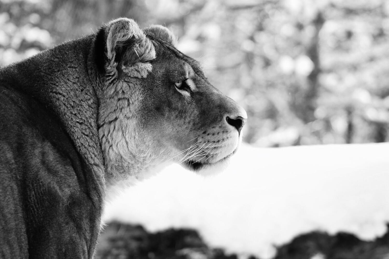 Lionne Zoo de Servion