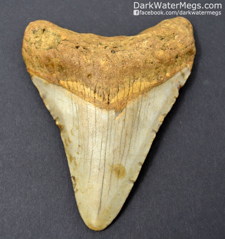 "3.81"" Orange and Cream Megalodon Tooth"