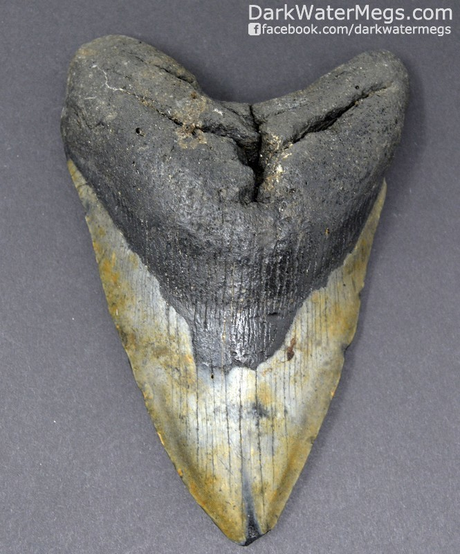 """5.40"""" Large megalodon tooth"""