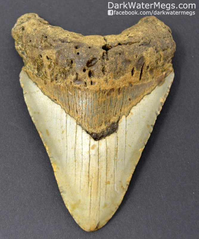 "4.77"" Gold and tan megalodon tooth"