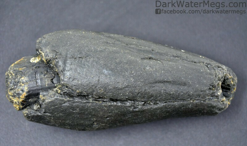 """4.83"""" Large dark fossil whale tooth"""