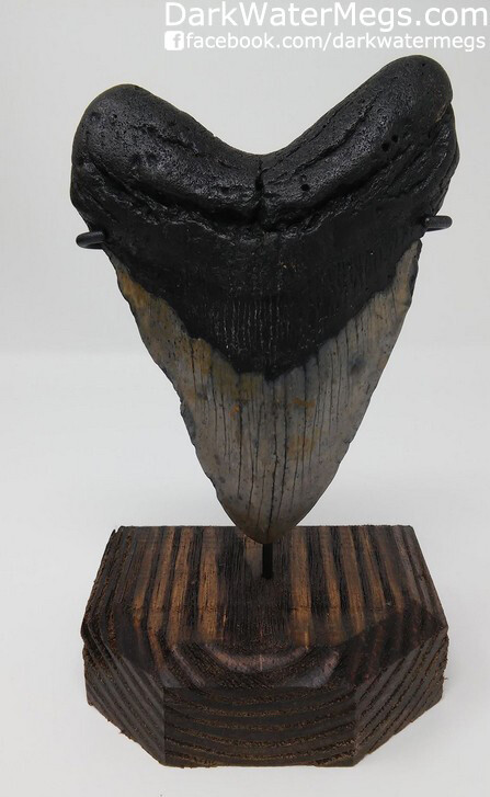 """5.22"""" Large Megalodon Tooth with Custom Stand"""