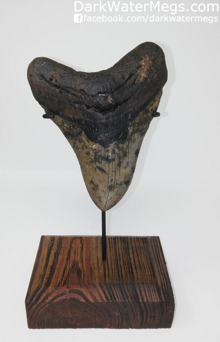 "4.88"" Megalodon Tooth with Custom Stand"