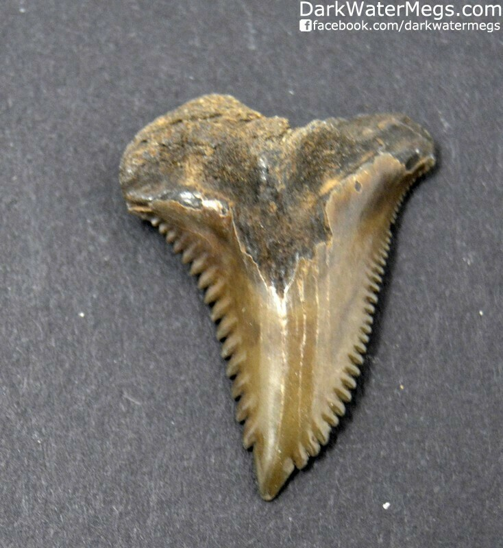 "1.18"" Rich brown hemipristis tooth"