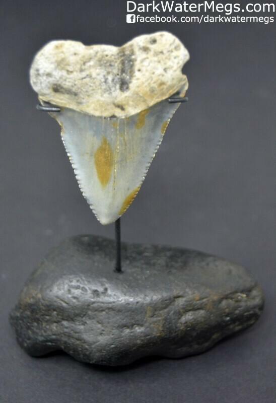"""2.37"""" Light blue fossil great white on inner ear bone stand"""