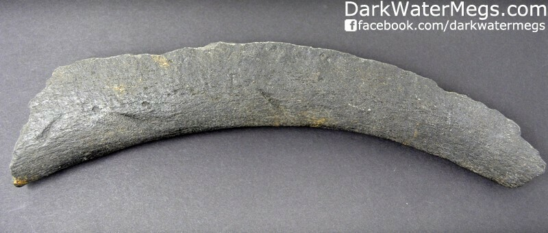 """Large 12.4"""" fossil rib bone with bite marks in it."""