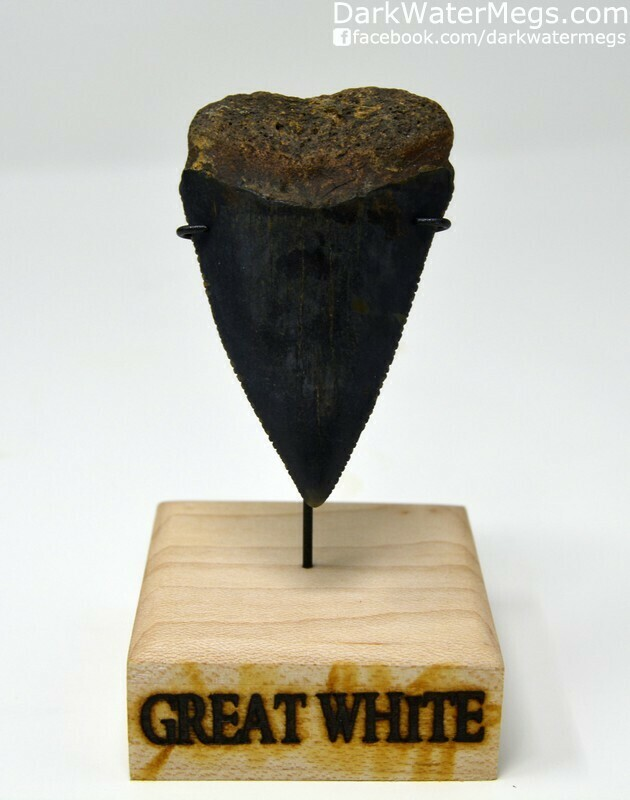 """2.61"""" Dark and Huge Fossilized Great White Tooth"""