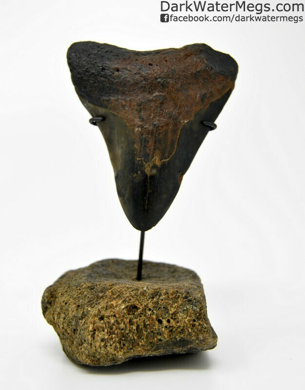 "2.82"" Dark orange megalodon tooth on small fossil stand"