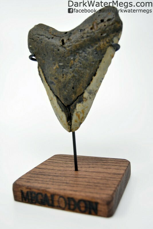 """5.35"""" Large Megalodon tooth on custom red oak stand"""
