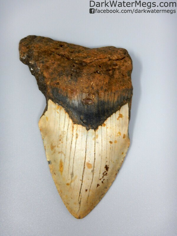 "5.04"" Dark red and tan large megalodon tooth"