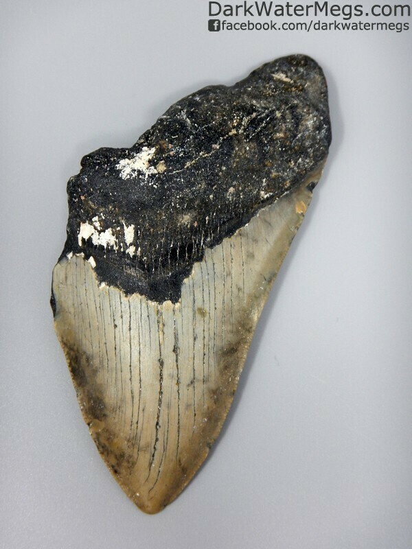 """5.23"""" Very large uncleaned megalodon tooth"""