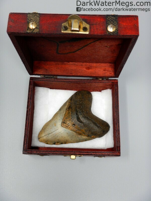 """4.21"""" Megalodon tooth with gold bourlette in a treasure chest"""