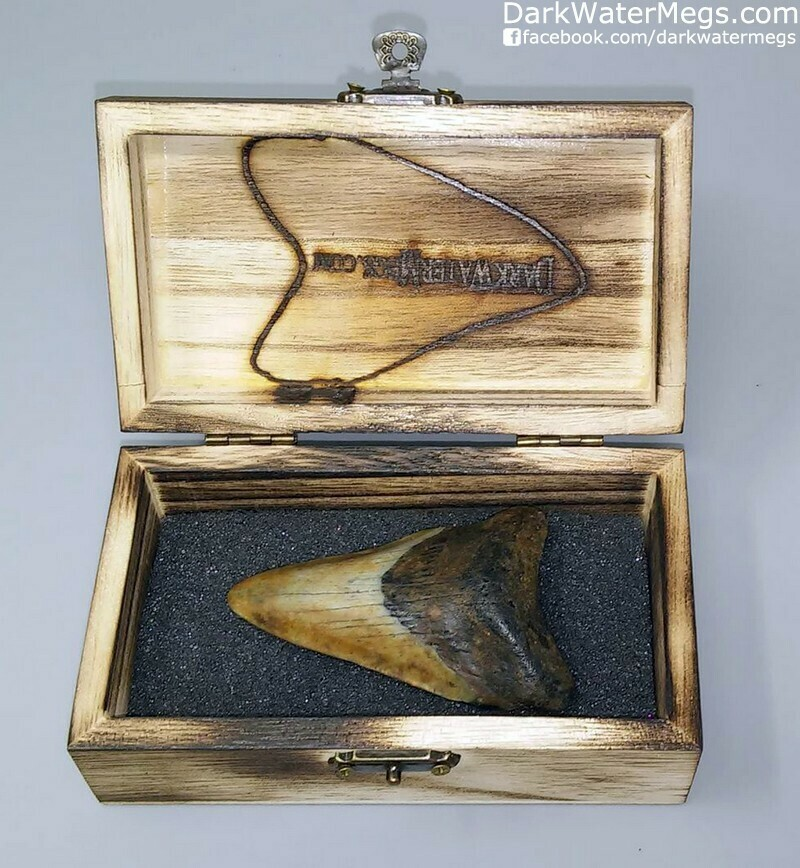"""3.07"""" Patterned Megalodon Tooth In Box"""