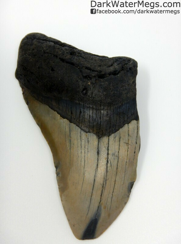 """4.25"""" Dark root megalodon tooth"""