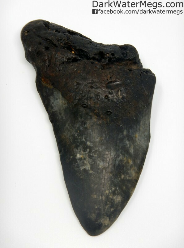 "5.22"" Speckled blade megalodon tooth"