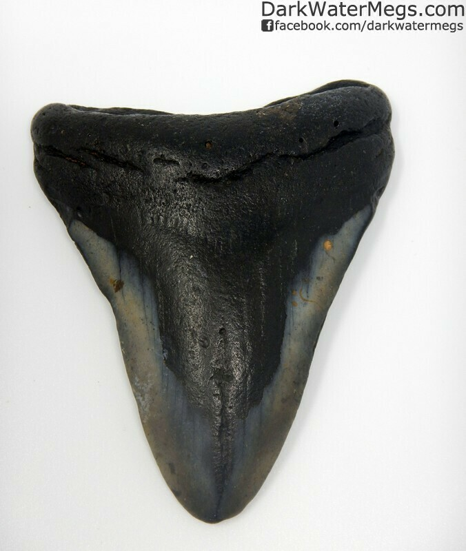 "3.82"" Dark center megalodon tooth"