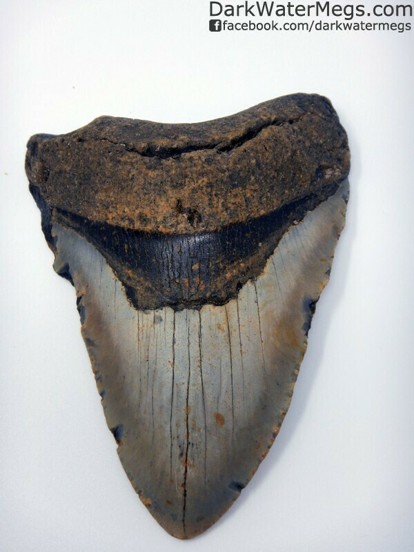 """5.18"""" Shiny blade megalodon tooth"""