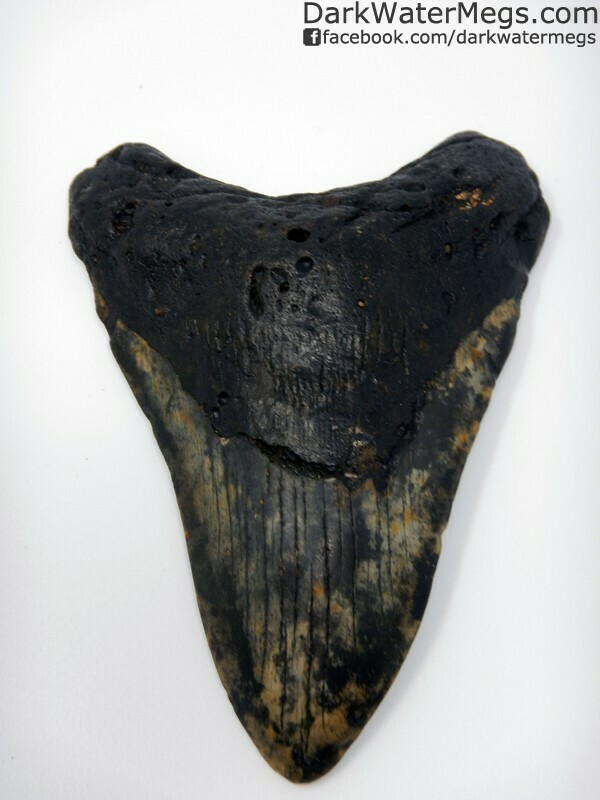 "5.05"" Black and gold patterned megalodon tooth"