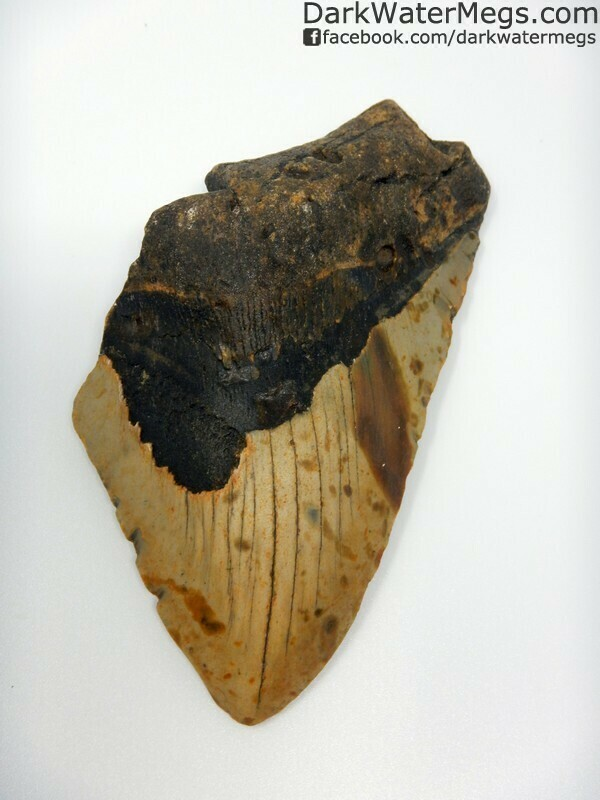 """4.48"""" Large discount megalodon tooth"""