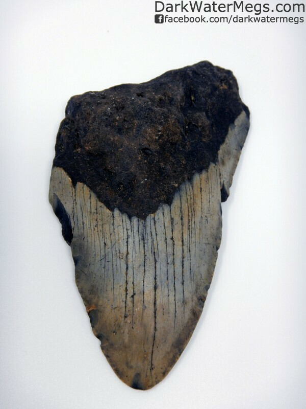 "4.45"" Patterned Blade Megalodon Tooth"