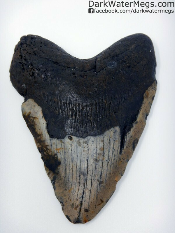 "5.68"" Monster Megalodon Tooth"