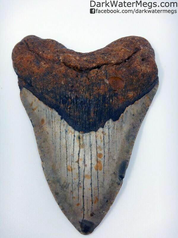 """5.50"""" Gorgeous megalodon Tooth"""