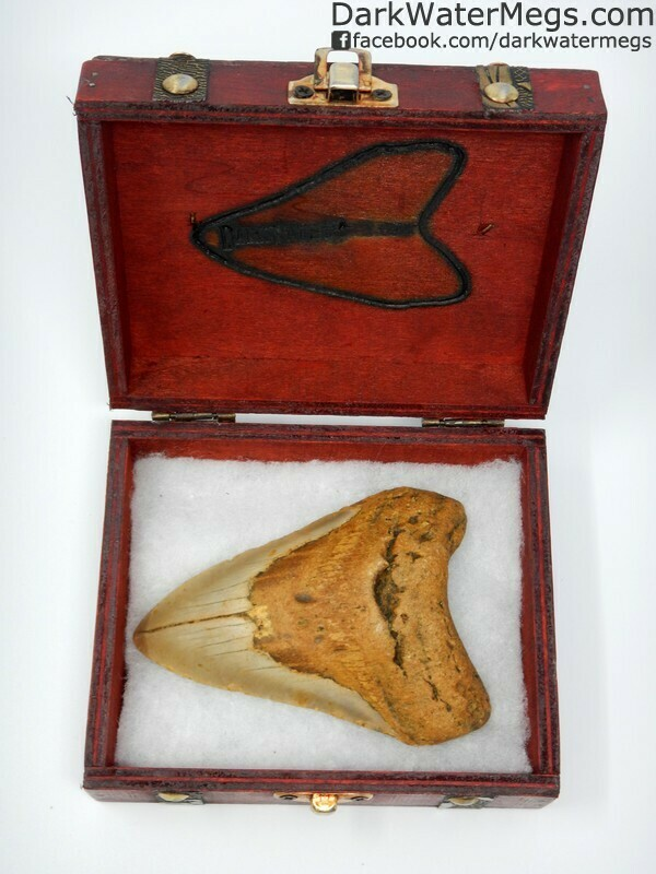 """4.25"""" Gold megalodon in treasure chest"""