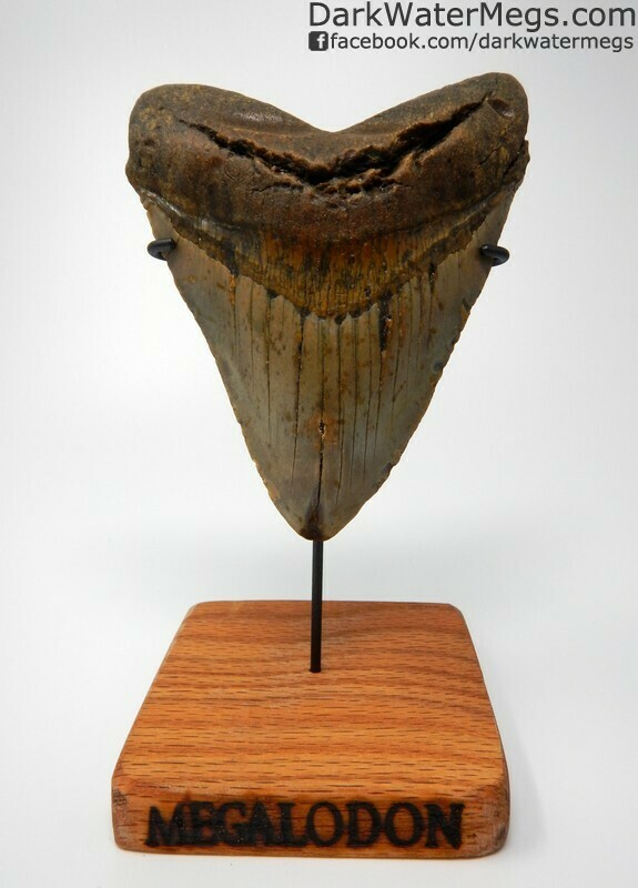 """5.78"""" Giant Megalodon on Stand"""