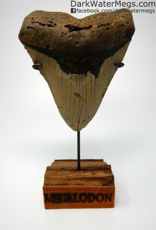 """5.71"""" Very Wide Megalodon Tooth"""