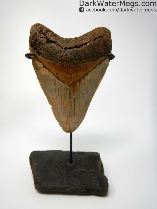 """5.10"""" Gorgeous orange bourlette megalodon tooth"""