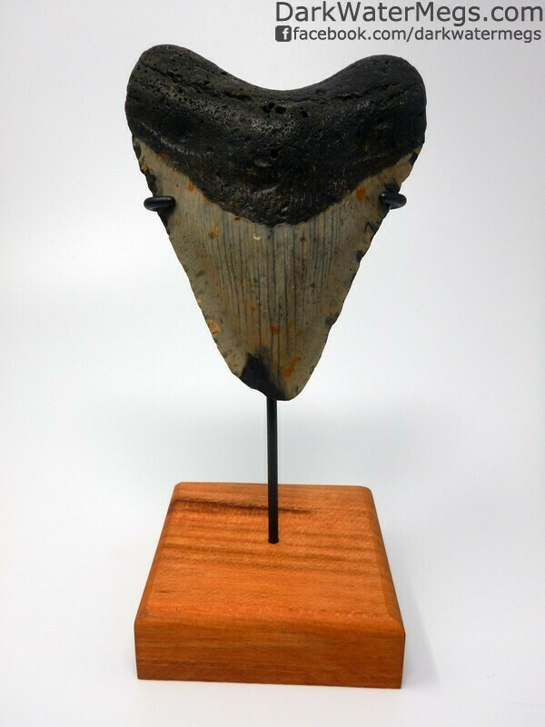 "4.78"" Very wide megalodon tooth with stand"
