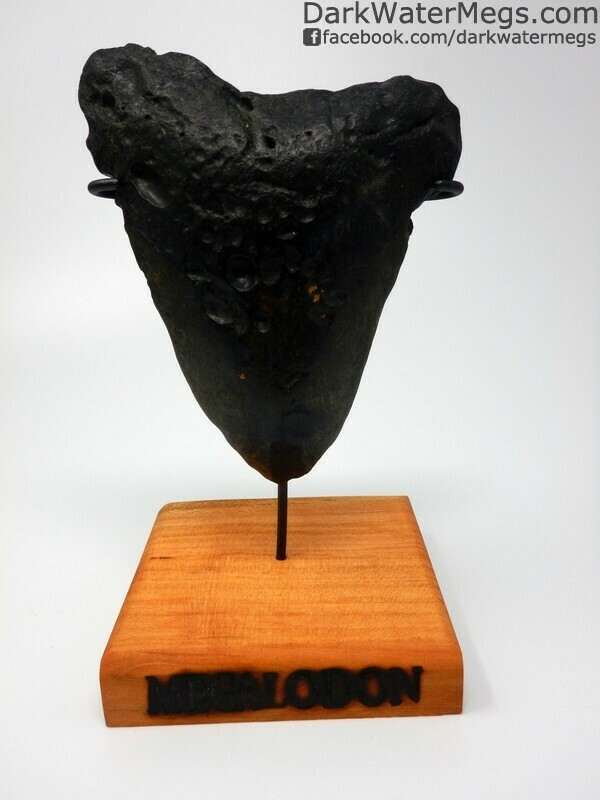 """5.35"""" Bargain megalodon ooth with stand"""