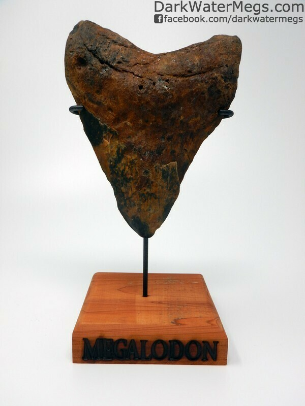 """5.67"""" Large Orange and Black megalodon Tooth with stand"""