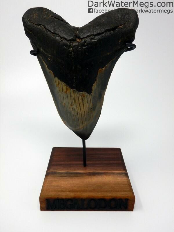 "5.56"" Large hooked megalodon Tooth with stand"