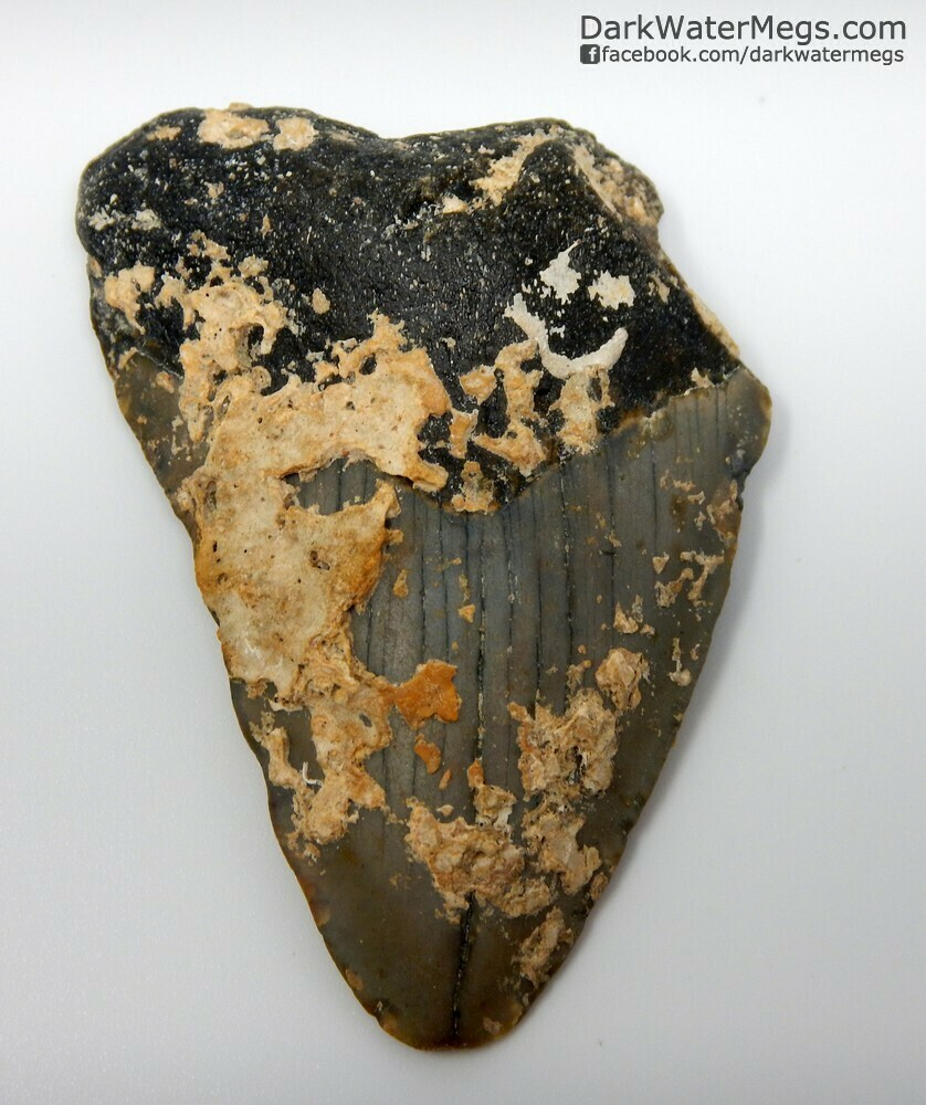 """2.91"""" Uncleaned Megalodon Tooth"""