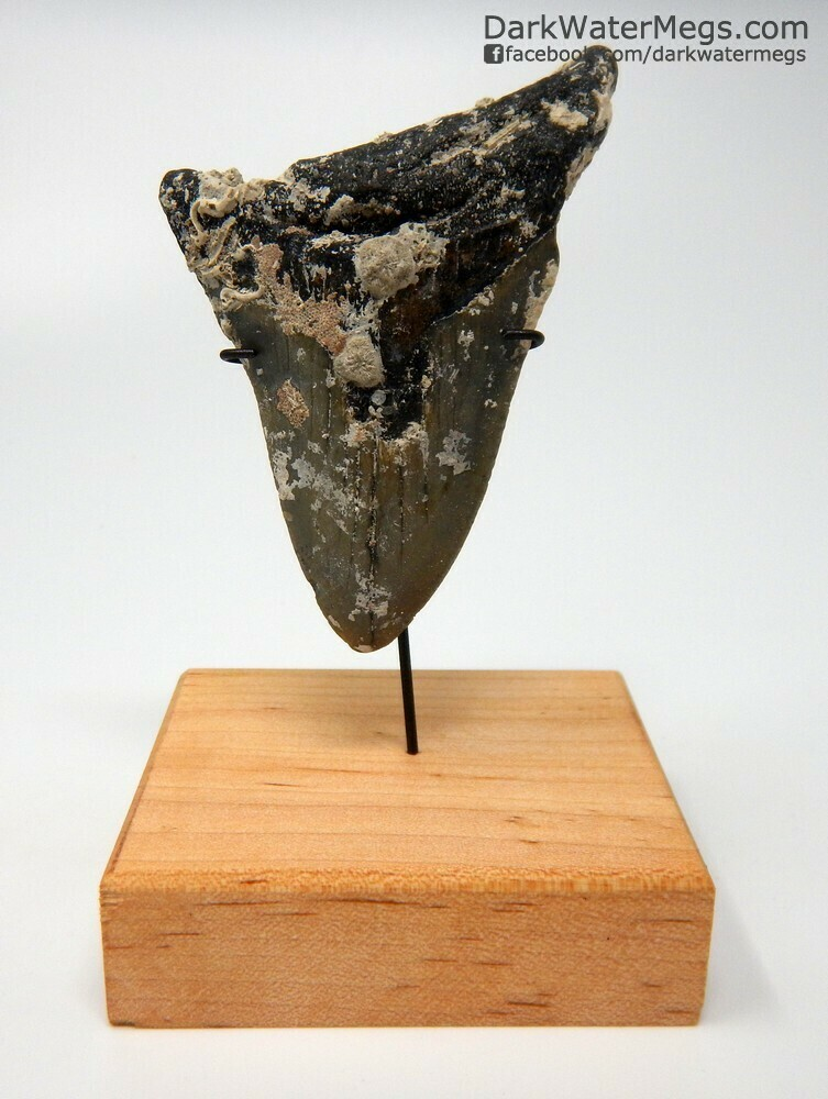 """3.54"""" Uncleaned megalodon tooth on stand"""