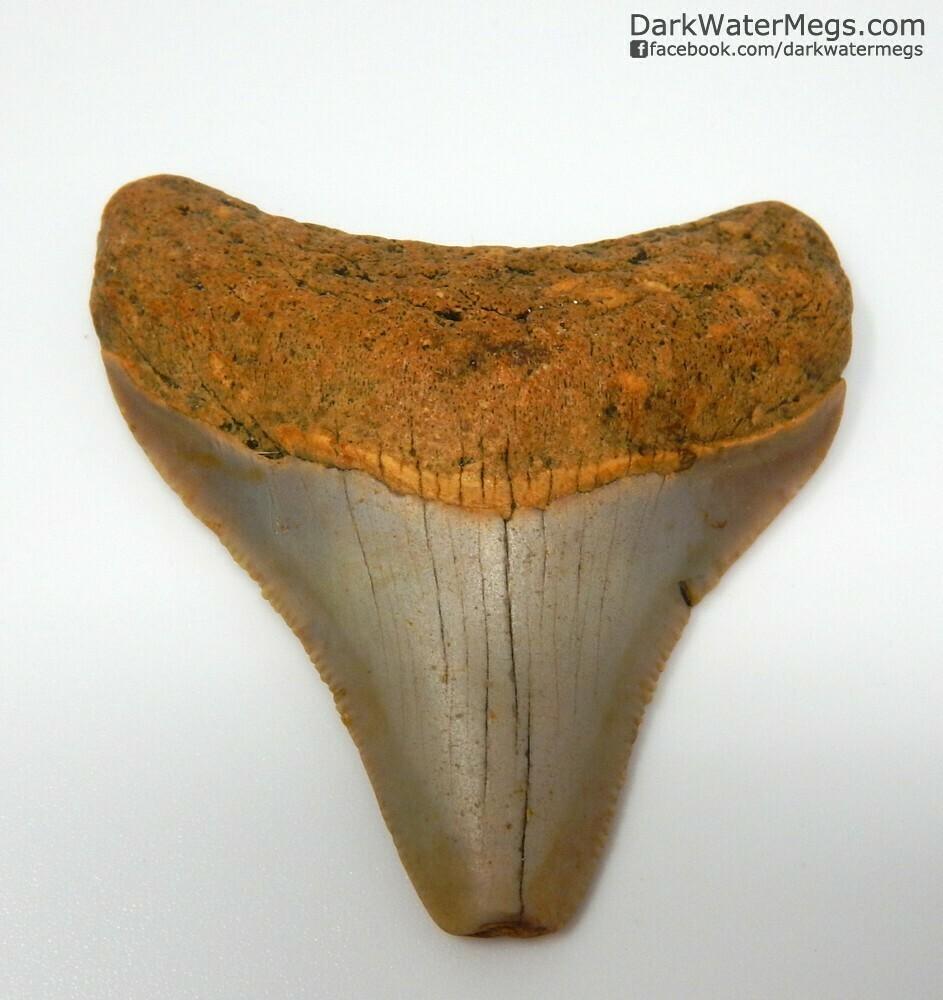 "2.12"" Orange Baby Megalodon Tooth"