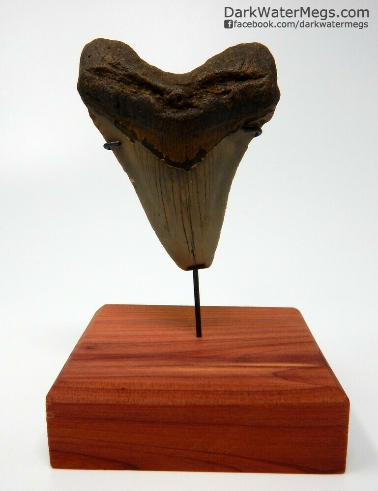 "2.87"" Orange Megalodon on Stand"