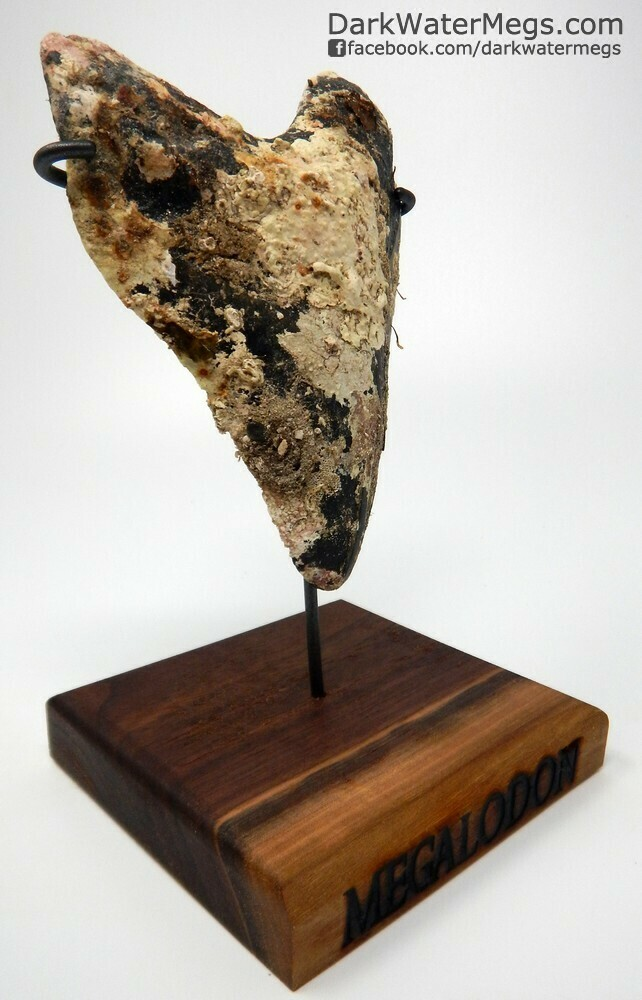 """5.34"""" Uncleaned Megalodon Tooth With Stand"""