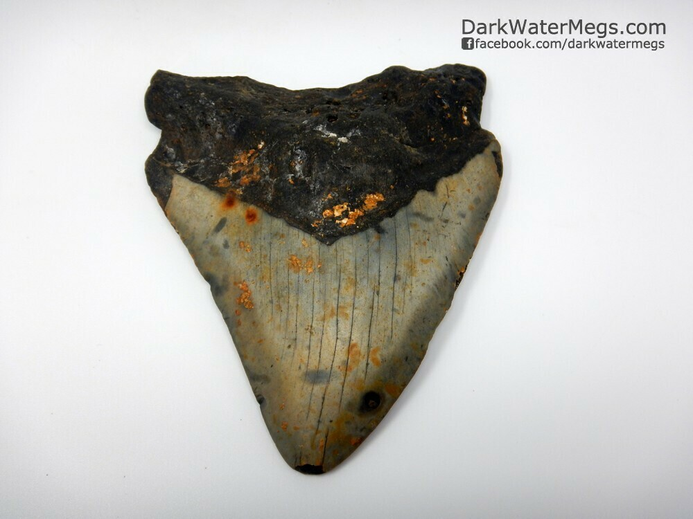 """4.46""""  megalodon tooth wide"""