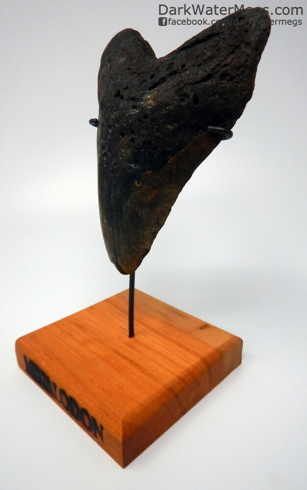 "5.71"" giant megalodon tooth on stand"