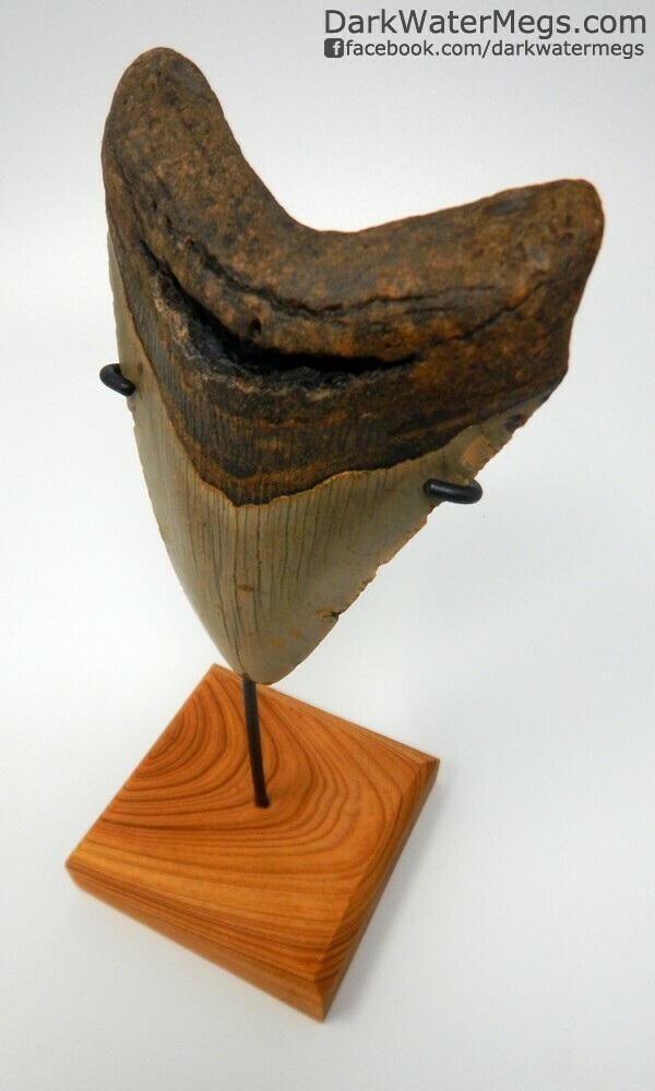 "4.83"" light colored megalodon tooth on stand"